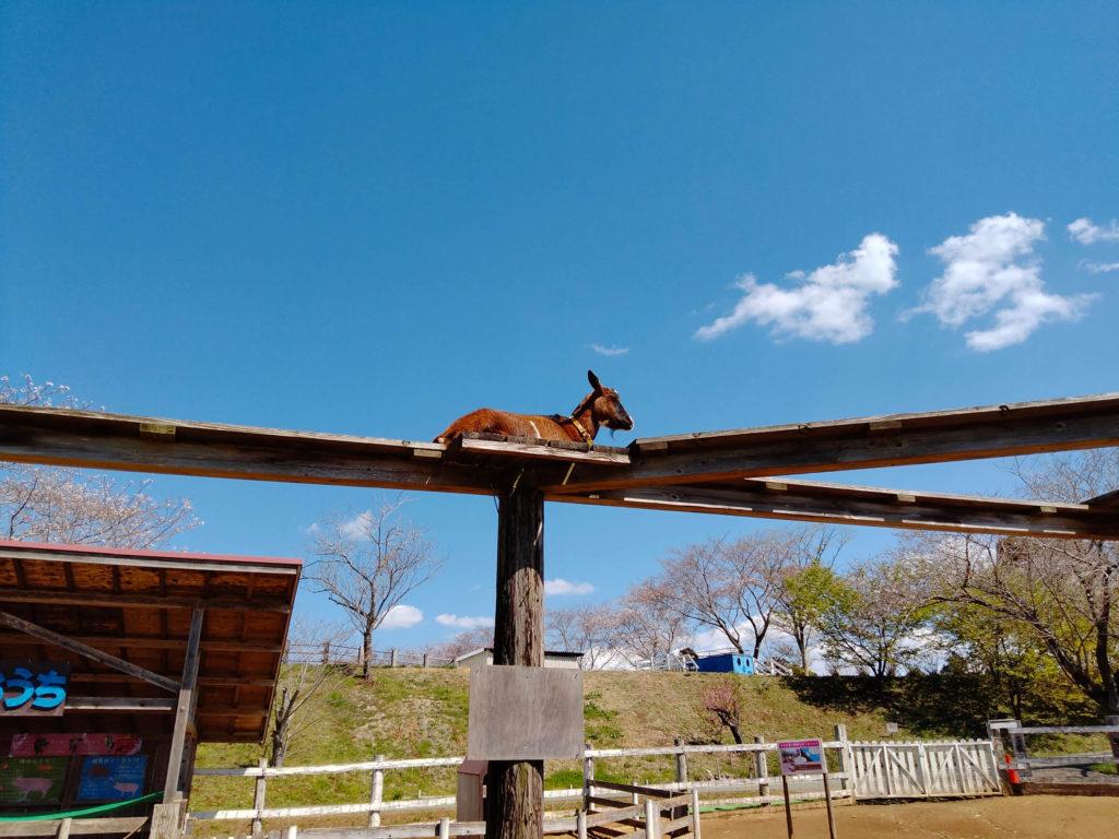 成田ゆめ牧場の高台のやぎ3